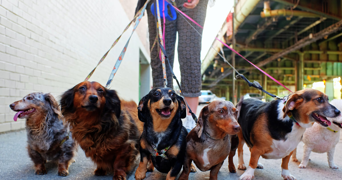 Imagem de uma empreendedora andando com vários cães na coleira para remeter ao texto de como montar um serviço de passeador de cães