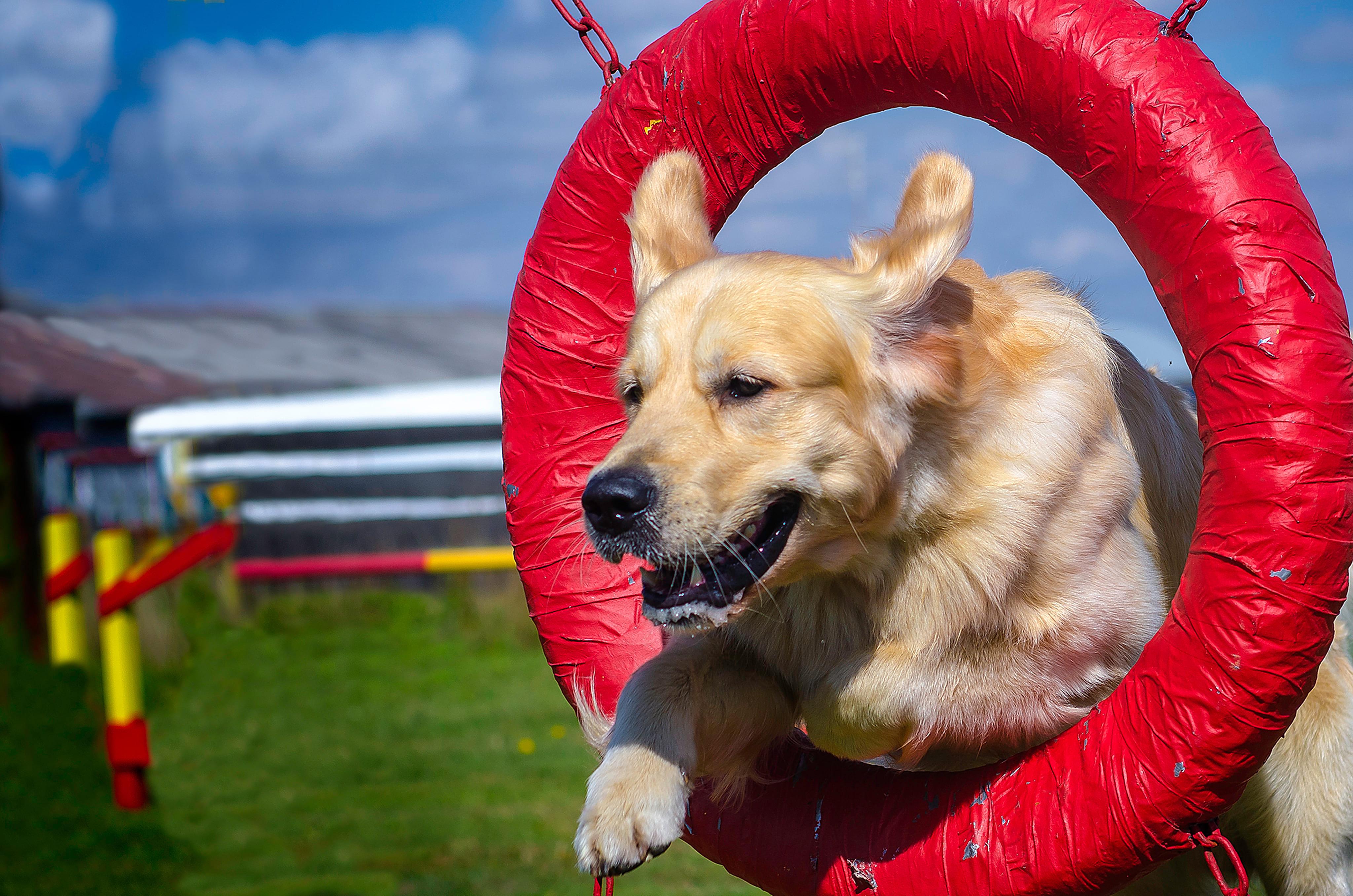Imagem de um cão passando por dentro de um circulo para remeter ao empreendedor que deseja montar um serviço de adestramento de cães