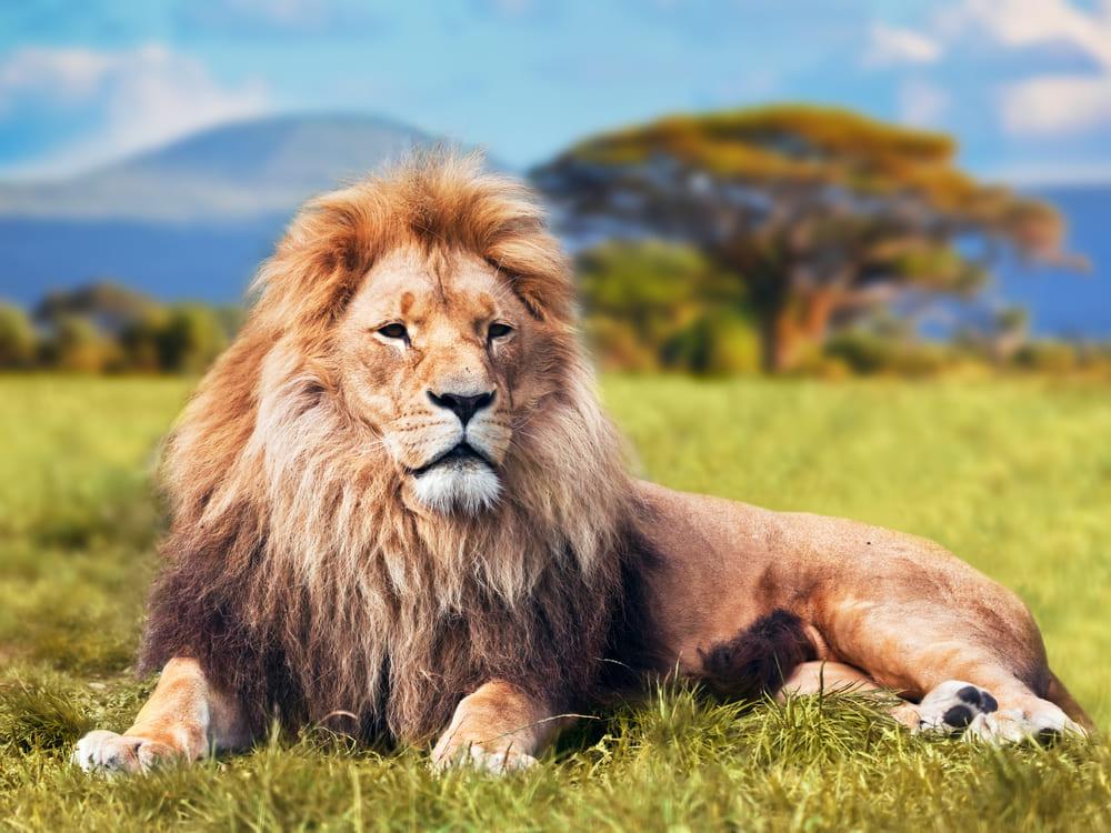 foto do leão, que representa a receita federal, na matéria de como declarar imposto de renda